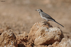 White wagtail (Dave 5533) Tags: whitewagtail bird songbird nature wild outdoor animal canoneos1dx ef300mmf28lisiiusm birdsinisrael birds wildlifephotography birdphotography naturephotography animalplanet