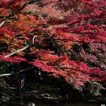 Maple tree in Koishikawa Korakuen Garden (小石川後楽園)