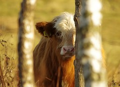 cattle autumn (2) (Simon Dell Photography) Tags: highland cattle cow behind tree hiding simon dell photography sheffield shirebrook s12 valley hackenthorpe old new pictures autumn winter colors