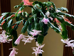 Holiday cactus (Shotaku) Tags: cactus cacti succulent succulents flowers flower pink salmon plants plant blooms blooming hangingplant pot christmascactus