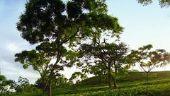 tea garden (faruqlib) Tags: wild wood forest lakatura sylhet tea garden plant bangladesh omar17