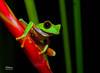 RedEyeRedFlowerHeadOn (TRAdamson Photography) Tags: costarica costa rica rainforests travel centralamerica puravida frog frogs amphibians tropicalfrogs redeyedtreefrog treefrog treefrogs red redeyed eyes herping herpetology herps costaricanherps costaricanrainforests