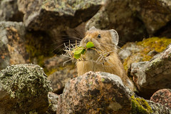 "Mom said to ""Eat your greens""! (ChicagoBob46) Tags: pika yellowstone yellowstonenationalpark nature wildlife ngc npc"