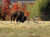 Charging Buffalo (Corgibird) Tags: fetch buffalo wildlife brute hooves thunderinghooves tree branch autumn fall pasture linesfieldsvalleysgreenwoodlandmarsh grass buffalograss prairie