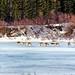 Caribou - Alaska