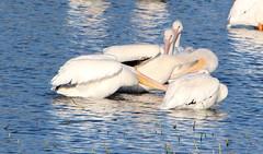 Pelicans 002 (Val Hightower) Tags: penguins lakeconway goldcreek conwayarkansas conway arkansas mayflowerarkansas mayflower