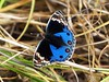 Blue Pansy (dark) - Nagaland - Eastern Himalayas  ~1600m Altitude (forest venkat) Tags: birding breeding bay battle bad classic crazy charismas water sun sunset sunny sunrise sunlight sweet lands tit landscape love blue blues blueflim flame fish first fire falls lovely light looks look left lake xenophobic ox other xmas red bird beautiful beauty babe beetle but butterfly grass area where macro more bright bugs friend flower forest flight five animal food merry christmas images free 7 superb sky shot sharing zero