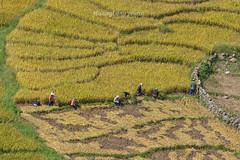 _Y2U0459.0917.Lao Chải.Sapa.Lào Cai (hoanglongphoto) Tags: asia asian vietnam northvietnam northwestvietnam landscape scenery vietnamlandscape vietnamscenery vietnamscene terraces terracedfields terracedfieldsinvietnam valley muonghoavalley harvest canon tâybắc làocai sapa thunglũngmườnghoa phongcảnh ruộngbậcthang lúachín mùagặt sapamùalúachín sapamùagặt laochải canoneos1dx canonef500mmf40lisiiusm landscapewithpeople phongcảnhcóngười