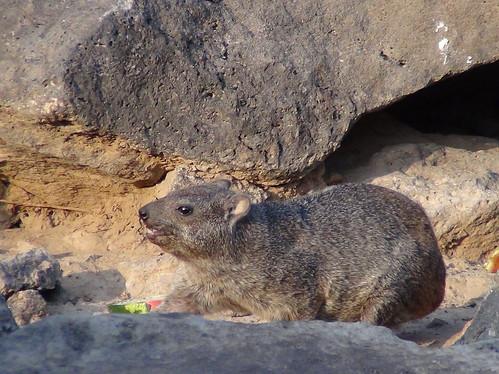 rock hyrax at Sables Blancs