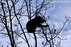 POWER SNACK (Larry W Brown) Tags: blackbear shenandoahnationalpark virginia hickorytree hickorynuts silhouette bearintree
