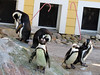 Penguins (meeko_) Tags: penguin bird animals beach penguinbeach safariafrica christmas wild christmasinthewild tampas lowry park zoo lowryparkzoo tampaslowryparkzoo lowrypark tampa tampachristmas
