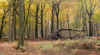 Autumn shelter...Ashridge