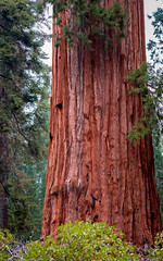 Giants Among Us (Calpastor) Tags: nationalpark sequoia lingscanyon california redwoods sequoias tree mountains fresno tulare visalia sierranevada