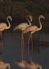 Flamingos (inesbeatriz) Tags: olhão faro portugal ria riaformosa water água aoarlivre outside outdoors wild wildlife vidaselvagem birds aves feathers penas nature natureza natural naturephotography flamingo canon canon100d