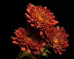 Autumn Mums 0926 (Tjerger) Tags: nature autumn beautiful beauty black bloom blooming blooms brwon closeup fall flora floral flower flowers green macro mum plant portrait red three trio wisconsin yellow mums backbackground natural