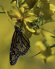 MonarchButterfly_SAF1146 (sara97) Tags: danausplexippus butterfly copyright©2017saraannefinke endangered insect missouri monarch monarchbutterfly nature outdoors photobysaraannefinke pollinator saintlouis towergerovepark
