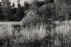 Pond (Stefano Rugolo) Tags: stefanorugolo pentax k5 kepcorautowideanglemc28mm128 monochrome landscape pond grass reed forest tree nature autumn sweden sverige water hälsingland