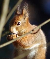 Sciurus vulgaris (Wanha-Erkki, Old Eric, Gammal Erik, Старая) Tags: squirrel orava sciurusvulgaris