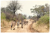 """""""Humans Make Great Roads"""" (The Spirit of the World ( On and Off)) Tags: zebras animals mammals road wild gamereserve madikwe southafrica africa safari gamedrive landscape woodlands"""
