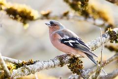Buchfink 15 (rgr_944) Tags: vögel vogel bird oiseau tiere animaux animals natur outdoor canoneos80deos7dmk2eos5dmk4 rgr944 tier animal wildlife