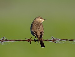 American Pipit (George McHenry Photography) Tags: pipit americanpipit birds southcarolinabirds southcarolina