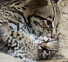 Maternal Cuddles (greekgal.esm) Tags: brazilianocelot ocelot cat feline kitten babyanimal animal mammal carnivore santaanazoo santaana california sony rx10m3 rx10iii