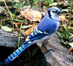 The Thanksgiving Blue-jay (Lynn English) Tags: bluejay yard proud thanksgiving blessins mom dad john angels baby terry cloth coth5