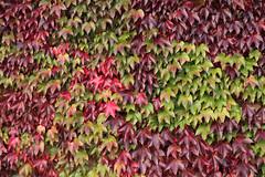 Virginia creeper (paul indigo) Tags: autumn paulindigo virginiacreeper colour green leaves outdoor red wall