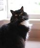 Batman (rootcrop54) Tags: batman longhair longhaired tuxedo male kitchen counter neko macska kedi 猫 kočka kissa γάτα köttur kucing gatto 고양이 kaķis katė katt katze katzen kot кошка mačka gatos maček kitteh chat ネコ