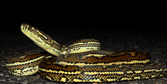 Carpet Python (Morelia spilota) (phl_with_a_camera1) Tags: australia bush nature wilderness qld queensland herp herping reptile animal wildlife night carpet python morelia spilota snake flash