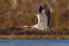 The crane.... (Silvio Sola) Tags: gru grusgrus crane uccello bird silviosola centrocicogneracconigi