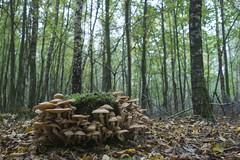Bulskampveld - Beernum - Belgium (wietsej) Tags: bulskampveld beernum belgium sony mushroom paddestoel fungus a6000 zeiss sel24f18z nature 24 18