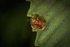 Tortoise Beetle (swarooppat!l) Tags: beetle tortoisebeetle golden nikon nikond810 d810 nikkor nikkor105mm 105micro amboli westernghats westernghatsmaharashtra maharashtraunlimited maharashtraunplugged r1c1