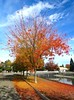 Glory Tree (moonjazz) Tags: color nature tree orange sky autumn glory leaves change seasonal ground november california sacramento walk looking branches vivid saturation death life cycle