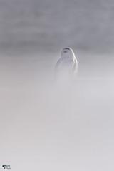 ''Illusion  d'une tempête!'' Harfang des neiges-Snowy owl (pascaleforest) Tags: hibou owl snowy snow neige passion nikon nature québec canada oiseau bird animal wildlife wild faune light lumière décembre december cadeaudelavant