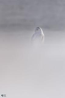 ''Illusion  d'une tempête!'' Harfang des neiges-Snowy owl