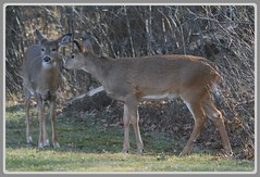 Pssst..lend me your ear my dear, let's strike a nice pose for that deer imager..whaddya say kid?! (Wolverine09J ~ 1 Million + Views) Tags: deerondalenov2917 whitetaildeer doe fawn standing listening minnesotawildlife nature lateautumn frameit~level01 level1thewondersofnature arealgem naturewithallitswonders 1goldwildlife thelooklevel1red