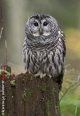barred owl (strix varia) (punkbirdr) Tags: kusmin nikon d500 500mmedafsif4 punkbirdrphoto birds birding barredowl strixvaria