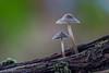 Mushroom mushroom (Wizmatt) Tags: mycena mushroom fungi macro autumn ocober october november green twin pair close up focus stack zerene stacker sigma 150mm canon 70d