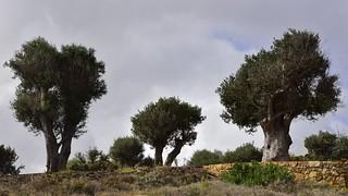 Olivenbaum (Olea europaea); Luz (Lagos), Portugal (149)