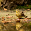 Yellowhammer reflection (Gertj123) Tags: reflection hide holterberg arjantroost netherlands nature canon sigma120300mmf28 animal avian autumn