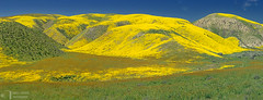 Yellow Hills (James L. Snyder) Tags: monolopialanceolata commonmonolopia hillsidedaisy aster daisies sunflower amsinckiamenziesii menziesfiddleneck fiddleneck annual herb blossoms blossoming blooming wildflowers flowers grass hills hillside meadow grassland ranch native vernal seasonal lush luxuriant verdant rural country yellow green brown russet gray vibrant colors colorful sunlight sidelighting bright bluesky sunny clear otherworldly fantastic carrisahighway ca58 sandiegocreek carrizoplain carrizoplainnationalmonument temblorrange sanandreasriftzone californiavalley sanluisobispocounty california usa horizontal panorama afternoon april spring 2017