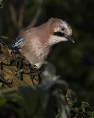 Ol' Blue Eyes is Back (Chris Bainbridge1) Tags: garrulus garrulusglandarius eurasian jay woodland bird blue eyes foraging norfolk