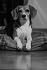 Febee (Guillaume7762) Tags: beagle chien dog
