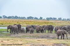 Group of elephants in Chobe national park (George Pachantouris) Tags: botswana africa southern chobe national park wildilfe reserve river animals elephant elephants tourist boat water