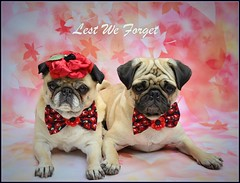Remembrance Day (DaPuglet) Tags: pug pugs dog dogs animal animals pet pets costume poppy remembrance remember november poppies flandersfield soldiers war freedom canada military army navy armedforces canadian peace coth coth5 fantasticnature saariysqualitypictures