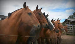 Tropilha Paredão (Eduardo Amorim) Tags: cavalos caballos horses chevaux cavalli pferde caballo horse cheval cavallo pferd crioulo criollo crioulos criollos cavalocrioulo cavaloscrioulos caballocriollo caballoscriollos pampa campanha fronteira bagé riograndedosul brésil brasil sudamérica südamerika suramérica américadosul southamerica amériquedusud americameridionale américadelsur americadelsud cavalo 馬 حصان 马 лошадь ঘোড়া 말 סוס ม้า häst hest hevonen άλογο brazil eduardoamorim