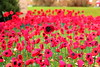 Field of (knitted) Poppies (Mike.Dales) Tags: remembranceday armistice poppy church nunthorpe methodist middlesbrough northyorkshire england canon50mmf18stm ww1 ww2 veterens