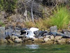 Great egret (thomasgorman1) Tags: bird white egret nature river colorado shore riverfront tires trees bushes plants birds arizona canon wildlife