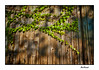 Ivy on old wooden door (Artico7) Tags: ivy green strings old barn door wood grain knots colour colourful sun saturated fuji xe1 friuli italy beautiful nature edera portone legno stalla